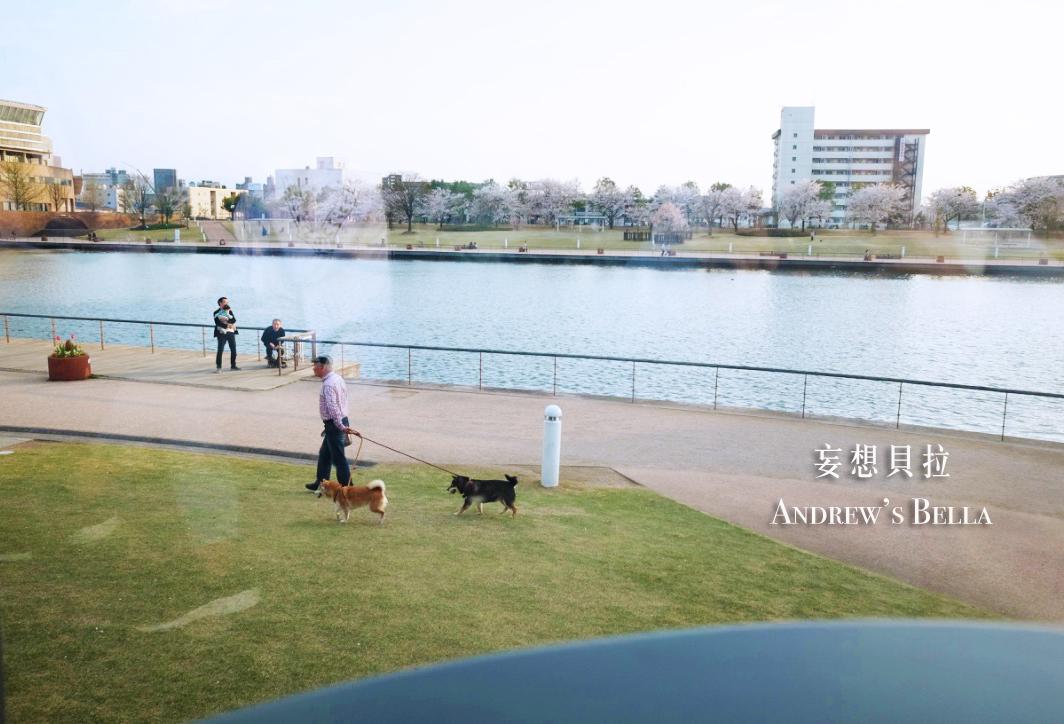 富山旅遊 賞櫻景點推薦 星巴克散步柴犬