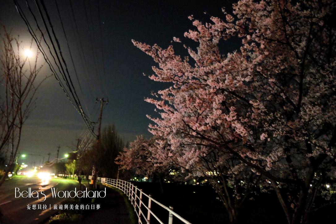 日本賞櫻 - 金澤犀川步道
