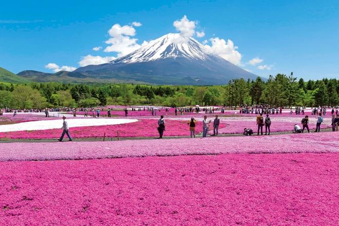 富士芝櫻祭 官方網站圖片