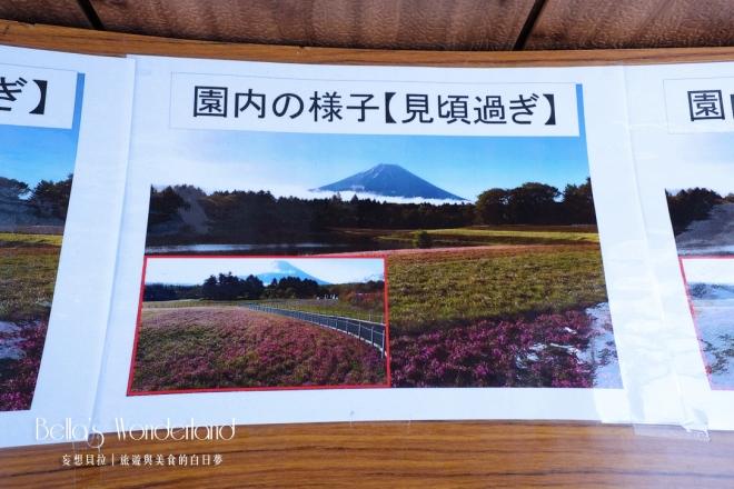 河口湖景點 富士芝櫻祭 園內的樣子